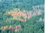 an unhealthy forest due to disease and insects