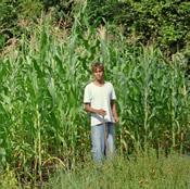 a crop of biochar enhanced corn