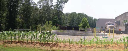 research corn field amended with biochar
